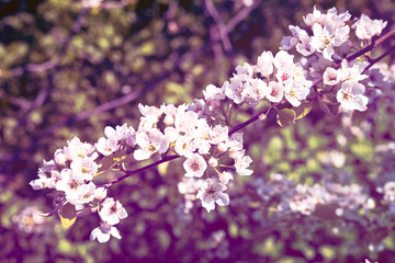 branch of a blossoming spring tree