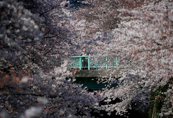 A man looks at cherry blossoms in almost full bloom in Tokyo, Japan
