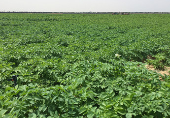 Picture shows the field of potatoes produced from local seeds by global food and beverage giant PepsiCo International near the coastal city of Alexandria
