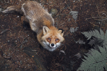 High angle portrait of fox in forest