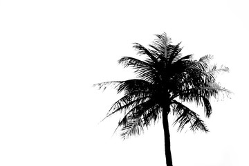 coconut tree  on white background.