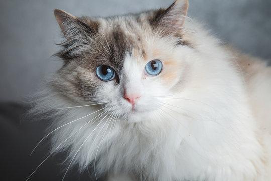 primo piano di gatto con occhi blu