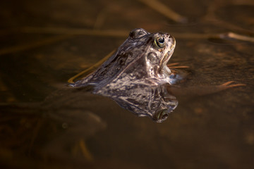 Common frog at breeding season during spring, head over water with reflections in warm afternoon light