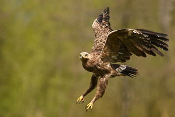 Lesser spotted eagle (Clanga pomarina)