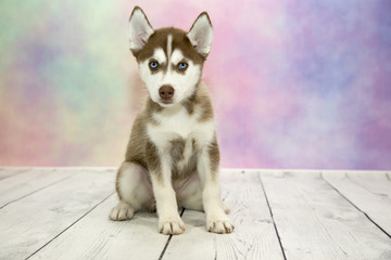 Siberian Husky with colorful springtime background
