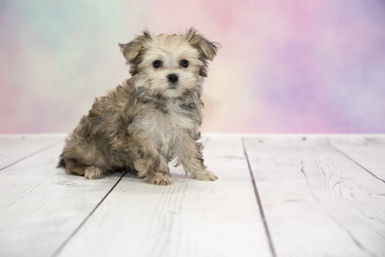 Morkie with colorful springtime background