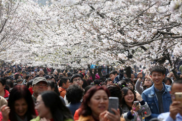Tourists take pictures as cherry blossoms bloom in Nanjing