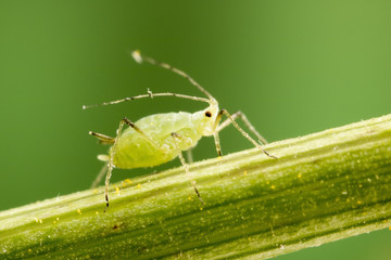 Aphid feeding on plant