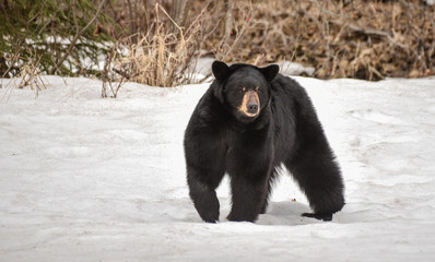Black Bear in a Snow Field