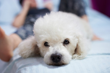 Mean white poodle dog