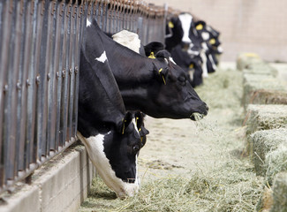 Dairy cows feed from a trough in Chino, California