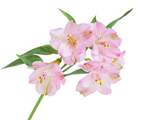 Peruvian Lily Flower