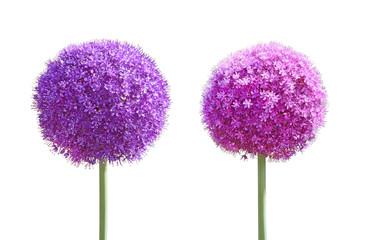 Allium Gladiator Flower set