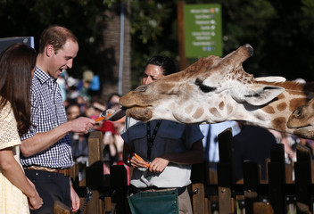 Britain's Prince William reacts as he and his wife Catherine, the Duchess of Cambridge, feed giraffes during a visit to Sydney's Taronga Zoo