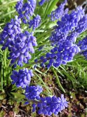Muscari flowers bloom in a spring garden