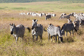 Zebra and foal grazing in Ngorongoro Conservation Area, Tanzania.