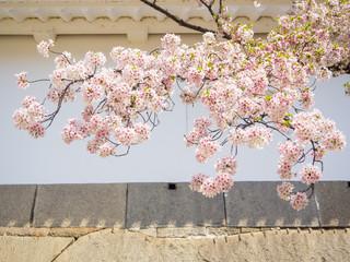 Beautiful cherry blossom sakura in spring time in Osaka castle park, Japan