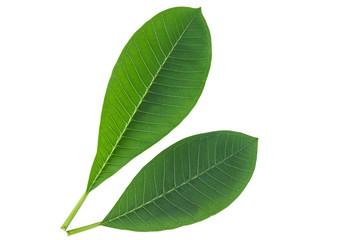 Frangipani leaf isolated on white