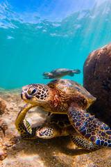 Endangered Hawaiian Green Sea Turtle cruising in the warm waters of the Pacific Ocean in Hawaii