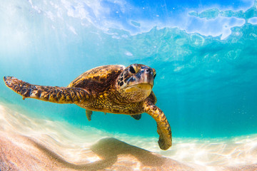 Fototapete - Endangered Hawaiian Green Sea Turtle cruising in the warm waters of the Pacific Ocean in Hawaii