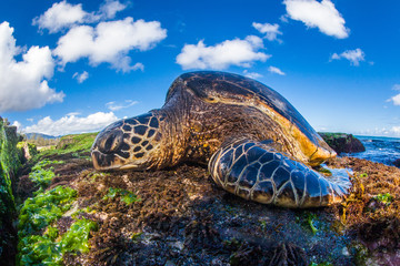 A Hawaiian Green Sea Turtle lounges on the shores of the Pacific Ocean in Hawaii