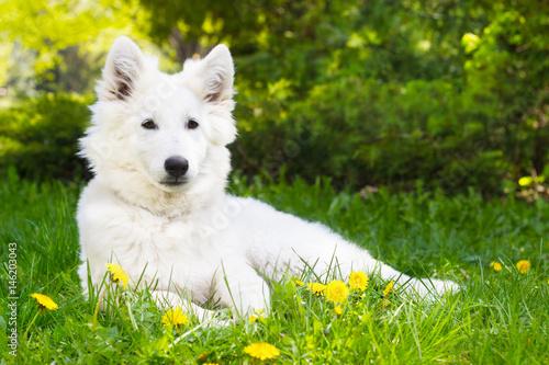 White shepherd puppy on green grass