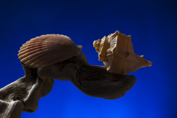 Studio low key image of  seashells on a branch. Blue light background. Fine art picture