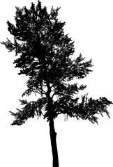 black pine single silhouette on white