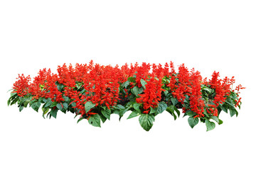 red flower bush tree isolated whited background