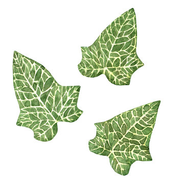 Set of hand drawn watercolor ivy leaves isolated on the white background