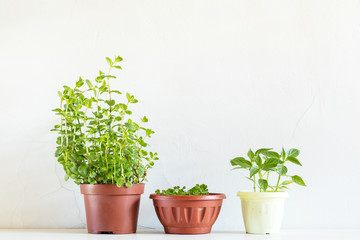 Spring gardening light concept. Fresh mint, parsley and pepper seedling in pots on a white table. White wall background.