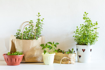 Spring gardening light concept. Seedlings basil, mint, pepper in the pots. Fresh mint in a paper bag.  White wall background.