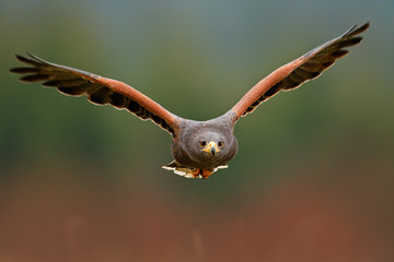Wildlife animal scene from nature. Bird, face flyght. Flying bird of prey. Wildlife scene from Mexico nature. Florida, USA, wild forest. Bird in fly. Harris Hawk, Parabuteo unicinctus, landing.