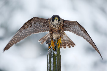 Peregrine Falcon, Bird of prey sitting on the tree trunk with open wings during winter with snow, Germany. Wildlife scene from snowy nature. First snow with bird. Winter with big white black falcon.
