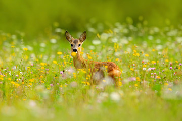 Summer in the nature. Roe deer, Capreolus capreolus, chewing green leaves, beautiful blooming meadow with many white and yellow flowers and animal. Animal in flowers and bloom. Spring deer on field.