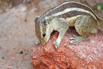 close up of Indian palm squirrel