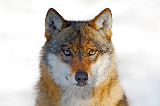 Face to face portrait of wolf. Winter scene with danger animal in the forest. Gray wolf, Canis lupus, portrait with stuck out tongue, at white snow. Wildlife scene from nature.
