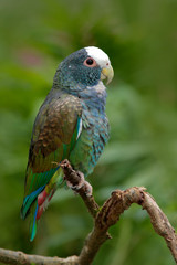 Green and grey parrot, White-crowned Pionus, White-capped Parrot, Pionus senilis, in Costa Rica. Lave on the tree. Parrots courtship in the nature. Pair of parrots in the tropic forest in America.