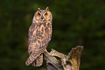 Wall Mural - Long-eared Owl sitting on the branch in the fallen larch forest during dark day. Owl hidden in the forest. Wildlife scene from the nature habitat. Bird on the spruce tree. Christmas with owl.