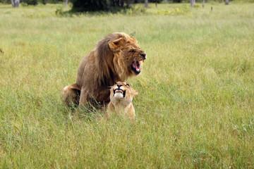 The southwest african lion or Katanga lion (panthera leo bleynberghi) mating in the savanna