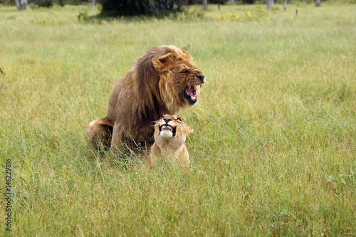 The southwest african lion or Katanga lion (panthera leo bleynberghi) mating in the savanna