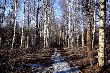 Birch Grove spring path  nature russia