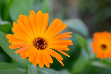 Macro orange beautiful flowers in the garden. Bokeh. Close up.