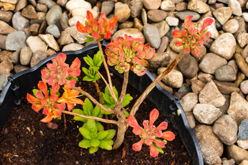 newly planted Mandarin Light Azalea shrub