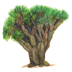 Isolated watercolor painting dragon tree over white background