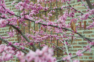 cherry blossoms against urban brick building with shallow DOF