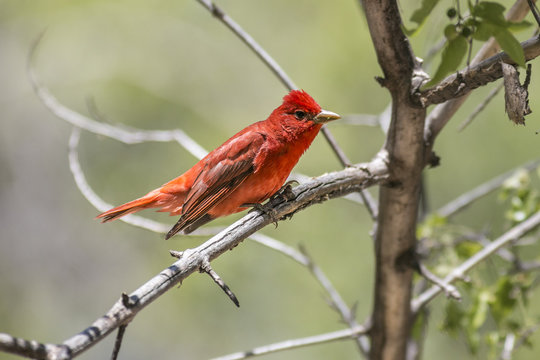 summer tanager perched in a tree