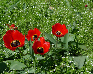 Spring and easter background. Group of four blossoming red tulips  in green grass.