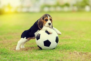 Cute young Beagle playing football