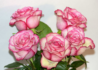 Rose flower is a symbol of beauty.